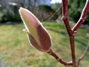 magnolia zruzovela