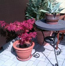 červený javor minulý rok (krásne červený)