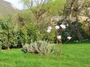 nasa prva magnolia v kvete. este je malicka, ale kvietky nahodila statočne. tesim sa z nej.