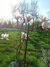 z magnolie sa stále teším