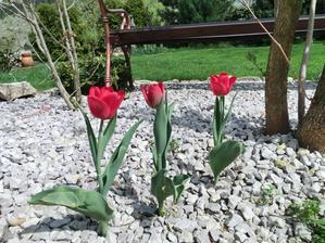 cibulky z Lidla, zasadene na jesen, predrali sa aj cez kamienky...