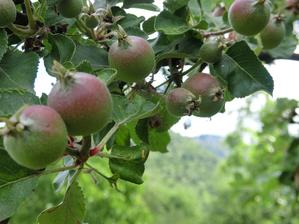 bude riadna uroda jablcok