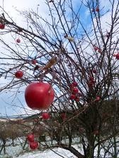 susedka nechala jablcka asi pre vtaciky (oni mi za to oseru stresne okno :-D )