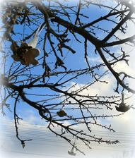 rozkvitnuta jablon