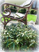 rododendron ma plno pukov, bude krasne kvitnut, ale listy ma skarede, take derave, neviem preco.