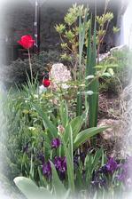 a na terase: tulipany, modrice, zakrsle kosatce, a biela ruza ma uz nahodene puciky