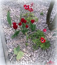 minuly rok tu boli z troch cibuliek 3 krasne tulipany, tento rok ich je 7. uz sa tesim na buduci rok ;-)