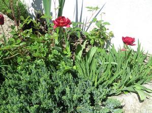 strapate tulipany. ostatne su uz odkvitnute, tieto sa len teraz otvorili