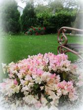 môj oblubeny rododendron a vzadu pivona.