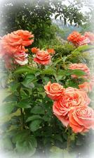 ruza kvitne, rozvoniava