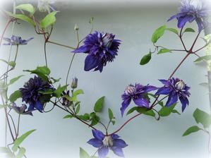 kvitne druhy klematis