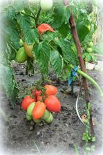 paradajky dozrievaju