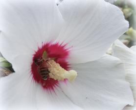 aha, kolko pelu na vcielke z jedneho kvetu ibisteka