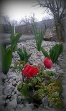 zatial po snežienkach druhý kvitnúci kvietok - sasanka