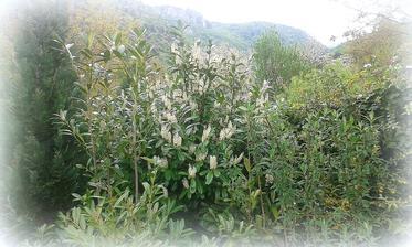 takto zakvitnute vavrinovce - bobkove listy.