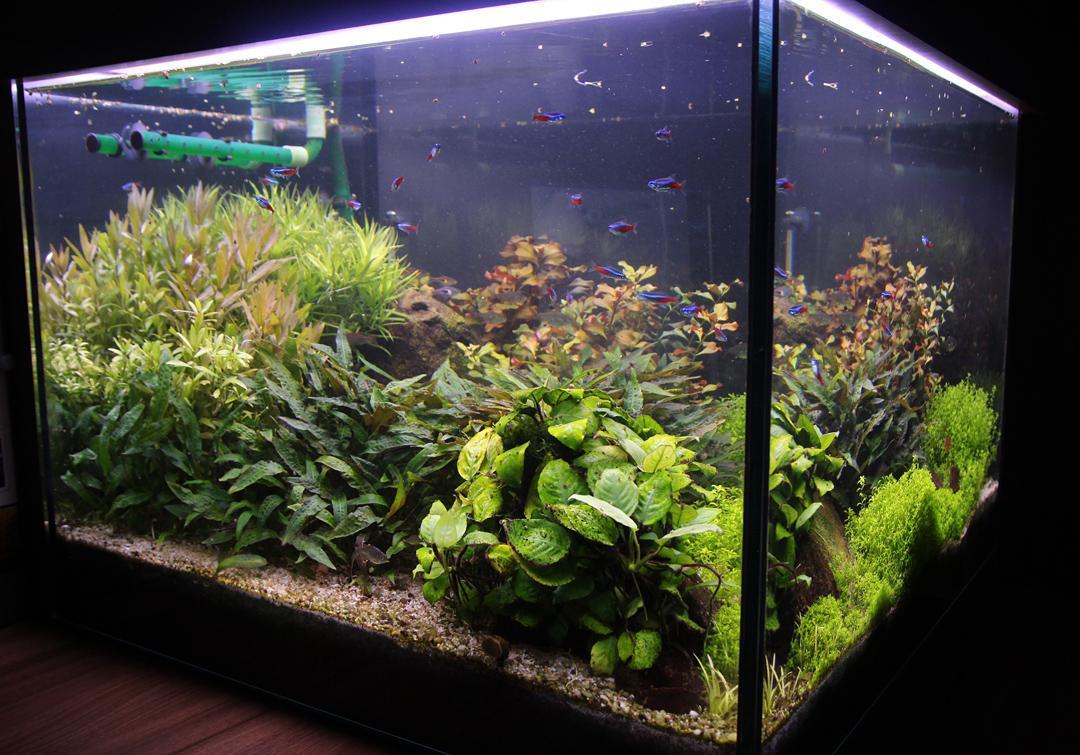 Naše nové akvárium - Nedavne prirastky do rybej osadky: neonky. Su prekvapivo nebojacne a nenazrane :)