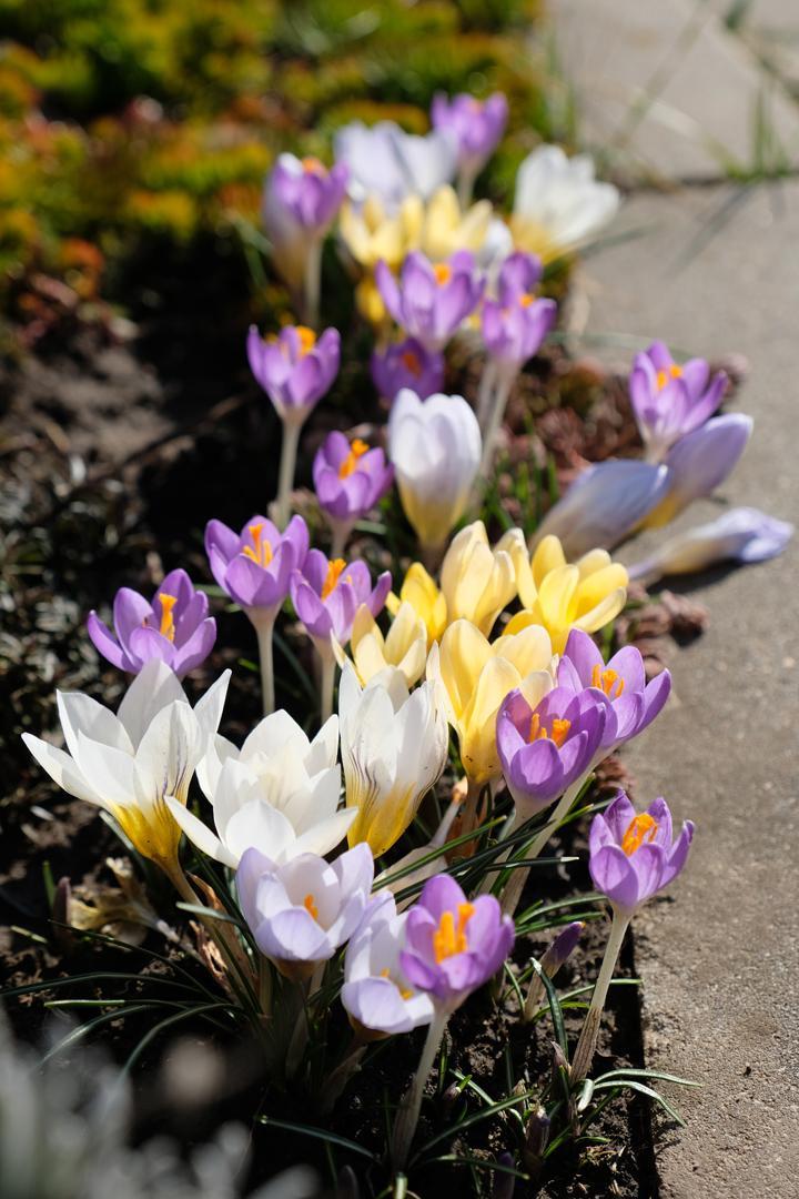 Naša záhradka 2020 - Mix krokusov pred domom tiež veľmi potešila.