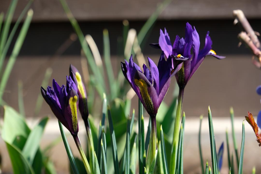 Naša záhradka 2020 - Kosatce tiež kvitli medzi prvými