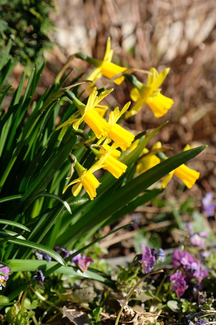 Naša záhradka 2020 - Narcisky pekne kvitnú už od začiatku marca.