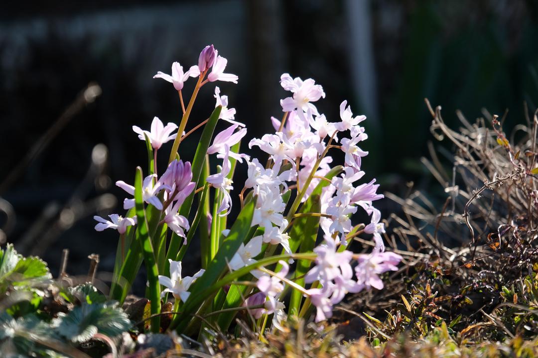 Naša záhradka 2020 - Chionodoxy sa pridali v druhej pólke marca.
