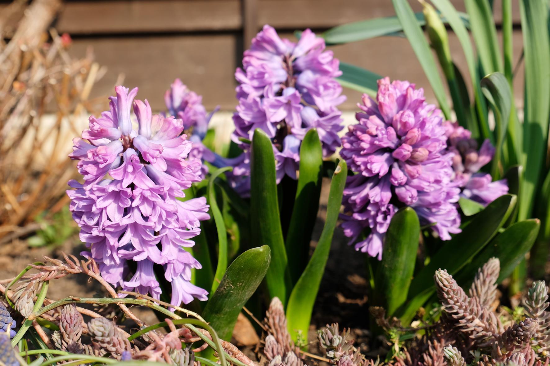Naša záhradka 2020 - Koncom marca konečne vykvitli aj toľko očakávané hyacinty. A nesklamali :)