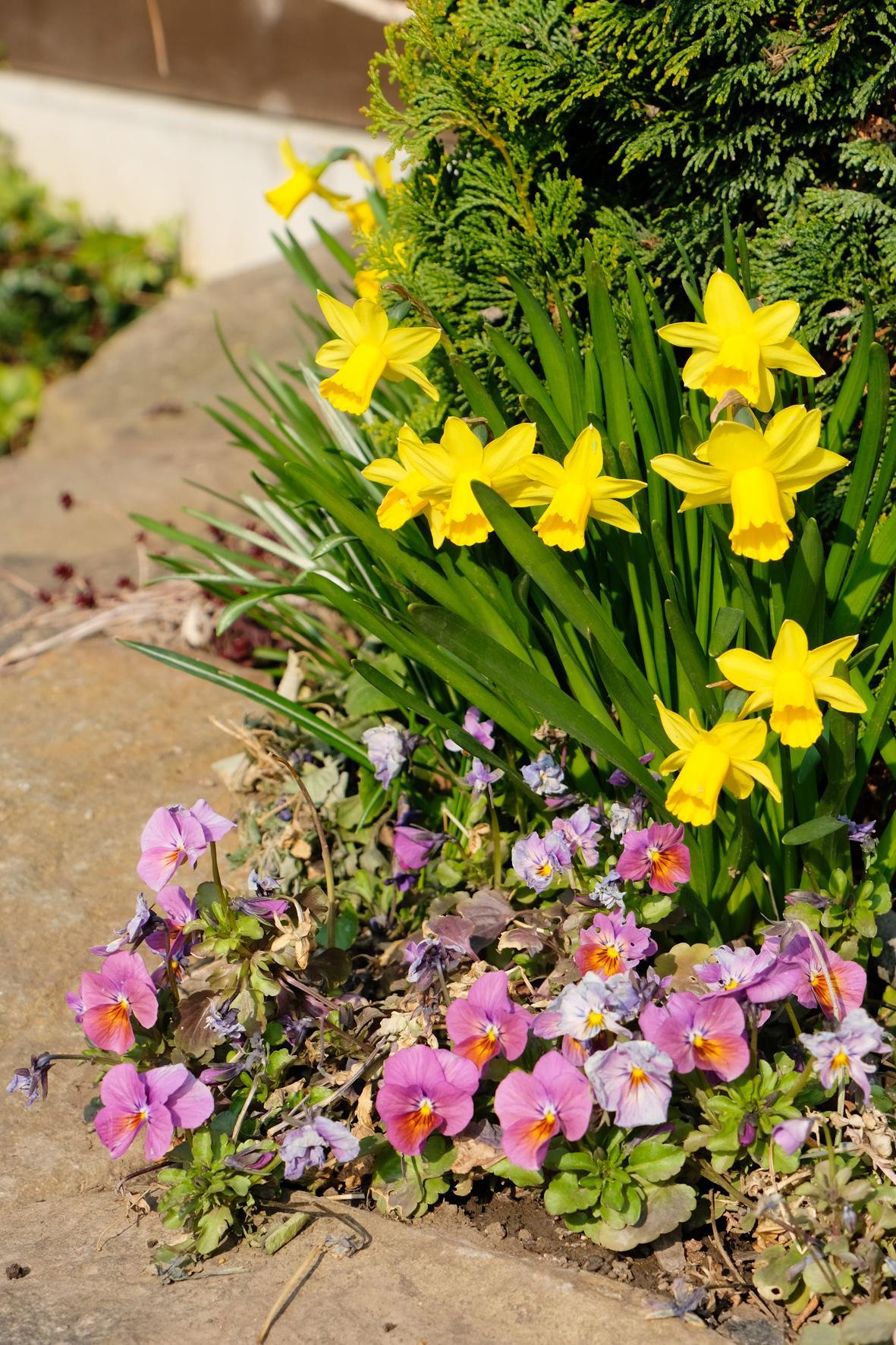 Naša záhradka 2020 - Tu ešte stále narcisky a pod nimi maceŠky, sadené ešte na podzim.