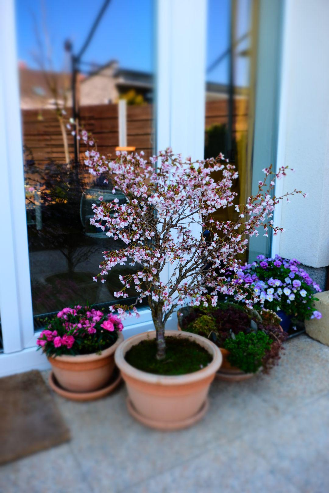 Naša záhradka 2020 - Okrasna slivon v kvetinaci mi kvitne uz tretiu jar. Pod nou macesky a hvozdiky.