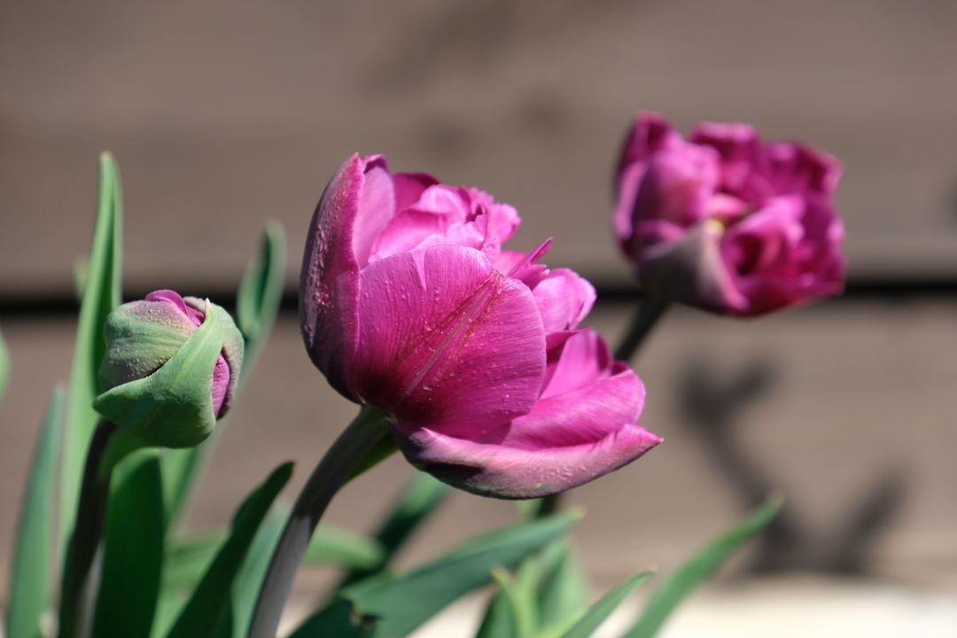 Naša záhradka 2020 - Prve tulipanky.