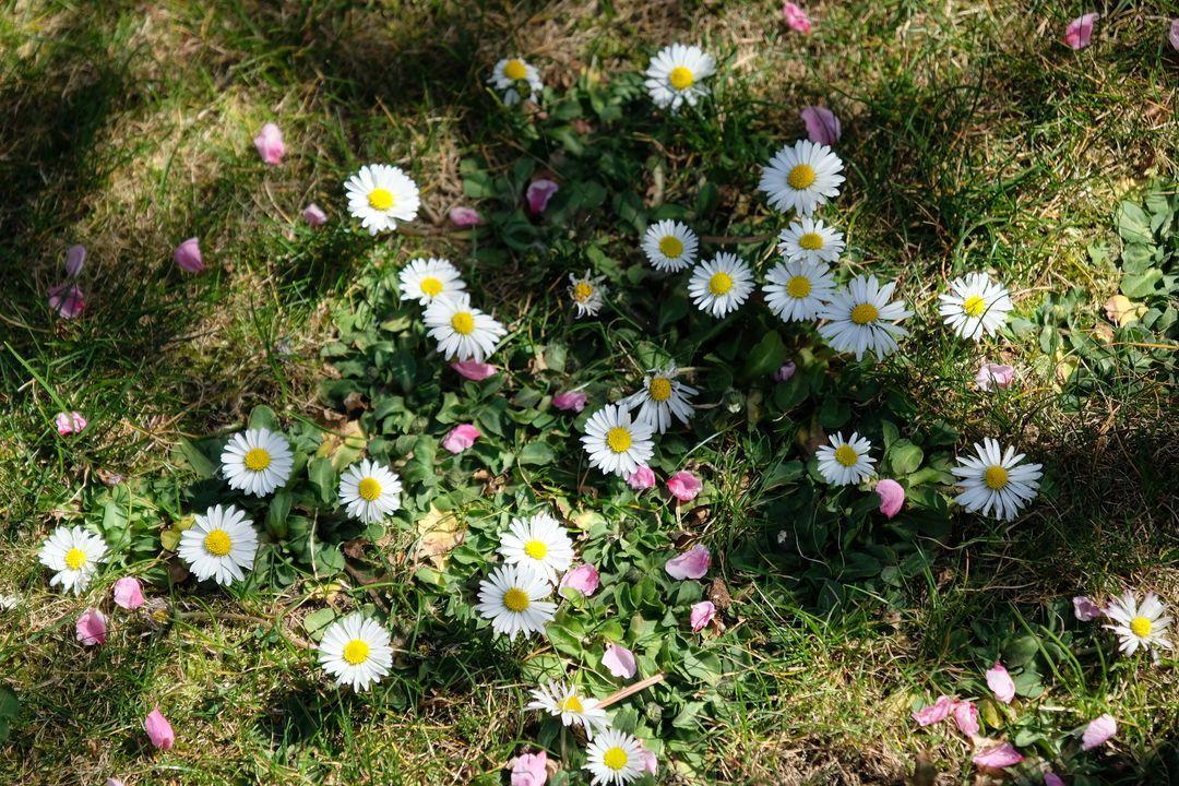 Naša záhradka 2020 - Sedmikrasky v travniku a lupienky kvetov nektarinky. V aprili mame zatial prevazne krasne pocasie.
