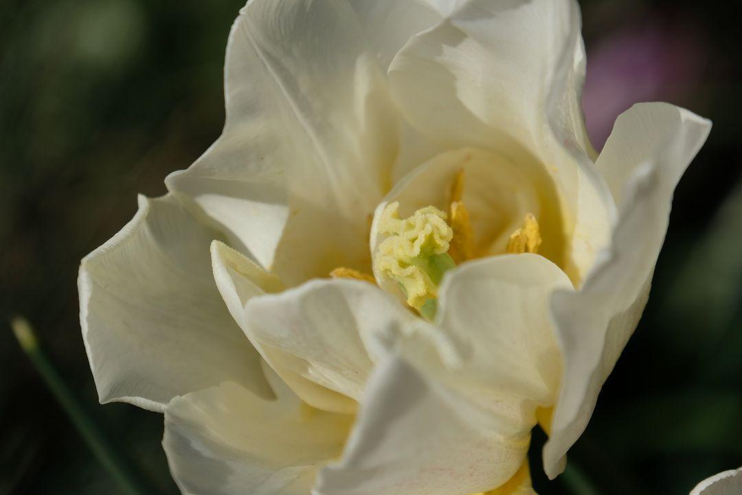Naša záhradka 2020 - Tulipany sa rozkvitli, ale vykvitla len asi tretina z novo kupovanych... a su prevazne biele.