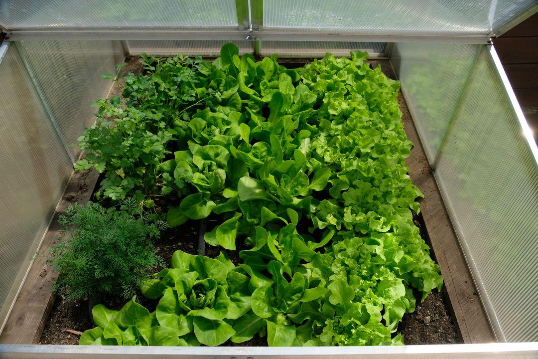 Naša záhradka 2020 - Salat v prikrytom truhliku uz aj bude na jedenie.