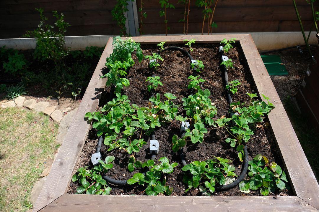 Naša záhradka 2020 - Rozhodla som sa dat uz von paradajky. Snad uz nebude mrznut.