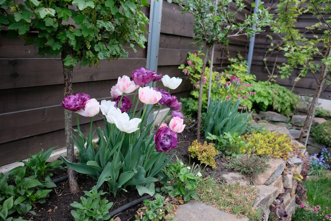 Naša záhradka 2020 - V maji nakoniec vykvitli vsetky tulipany, ale len tento kosik stal skutocne za to.