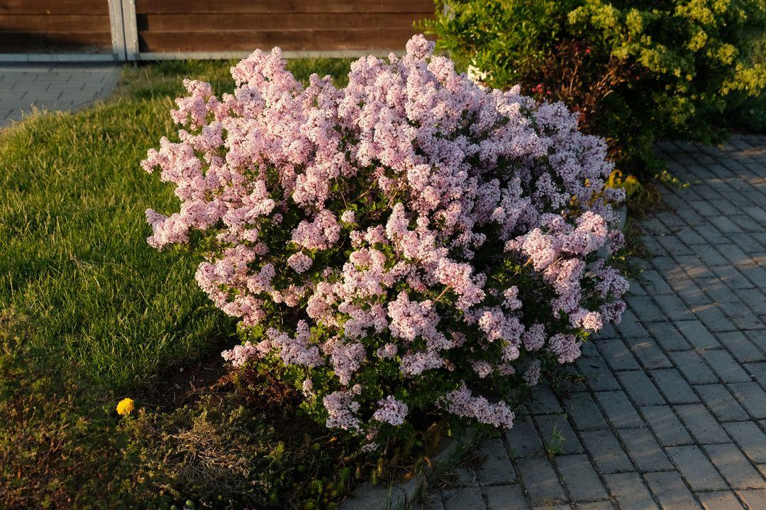 Naša záhradka 2020 - Serik pred domom kvitol dlho a vonal siroko daleko.