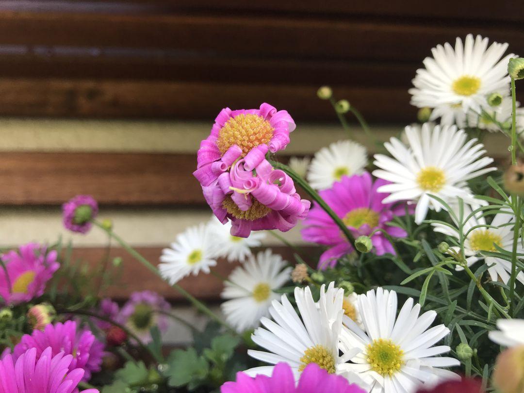 Naša záhradka 2020 - Brachyscome v truhliku v siamskej verzii.
