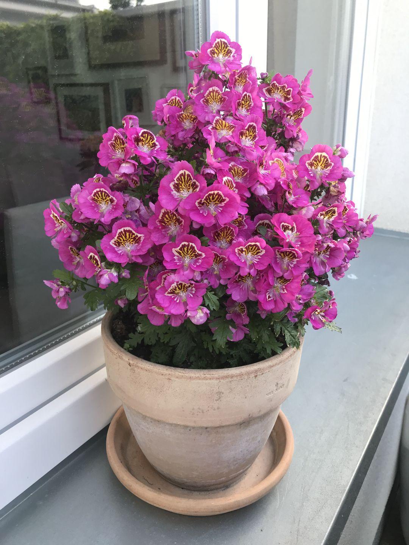Naša záhradka 2020 - Schizanthus krasne vykvitol, ale potom prisli dazde a neviem ci sa premokril alebo co, ale vacsina kvetov odisla v priebehu dvoch dni.