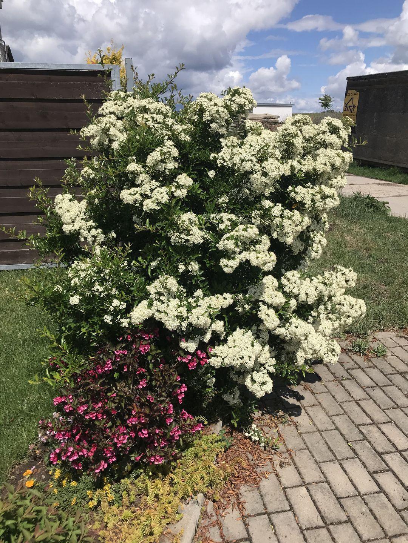 Naša záhradka 2020 - Hlohyne / Pyracantha pred domom vykvitla zase paradne