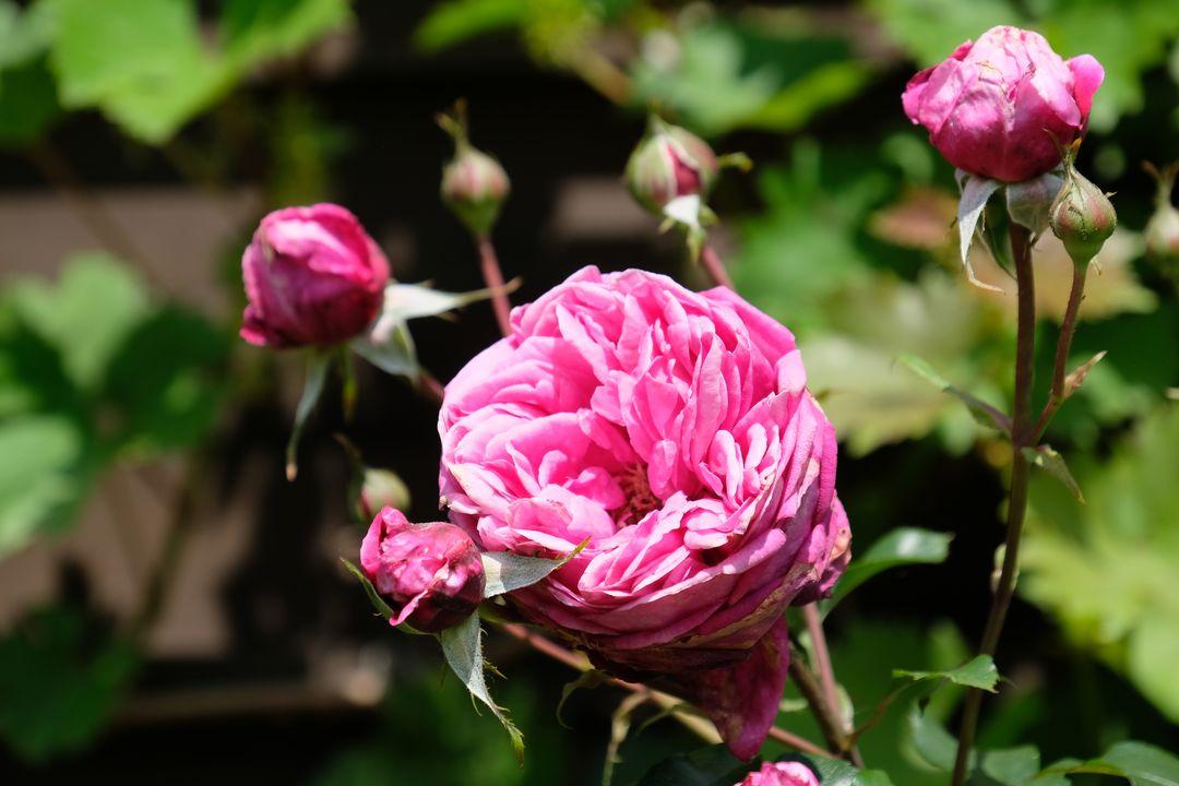 Naša záhradka 2020 - Ruza sa konecne poriadne rozkvitla. Len tie dazde jej moc nesvedcia.