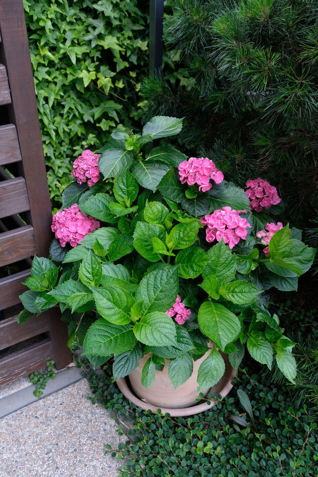 Naša záhradka 2020 - tuto hortenziu mam v kvetinaci uz dva roky, na jar nevyzerala bohvieako, ale nahodila kvety a nakoniec aj listy dorastli na prazdnych miestach, takze teraz je potechou pre oko
