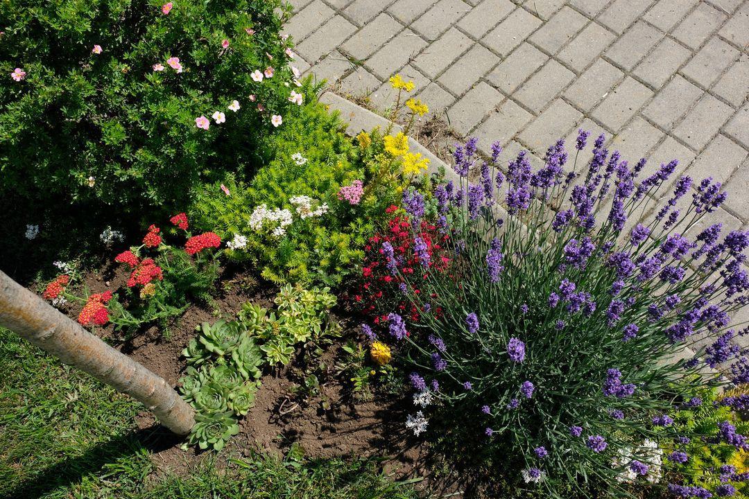 Naša záhradka 2020 - Pred dom som minulu jar presadila levandulu a bola taka nic moc, tento rok uz vyzera, ze sa chytila.
