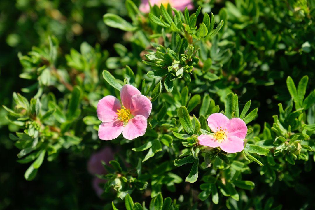 Naša záhradka 2020 - Pred domom sa rozkvitla aj ruzova mochna. Ocividne kvetom moc nesvedci moj kazdo-jarny zostrih, tak kvitne az neskor a asi aj menej bohato