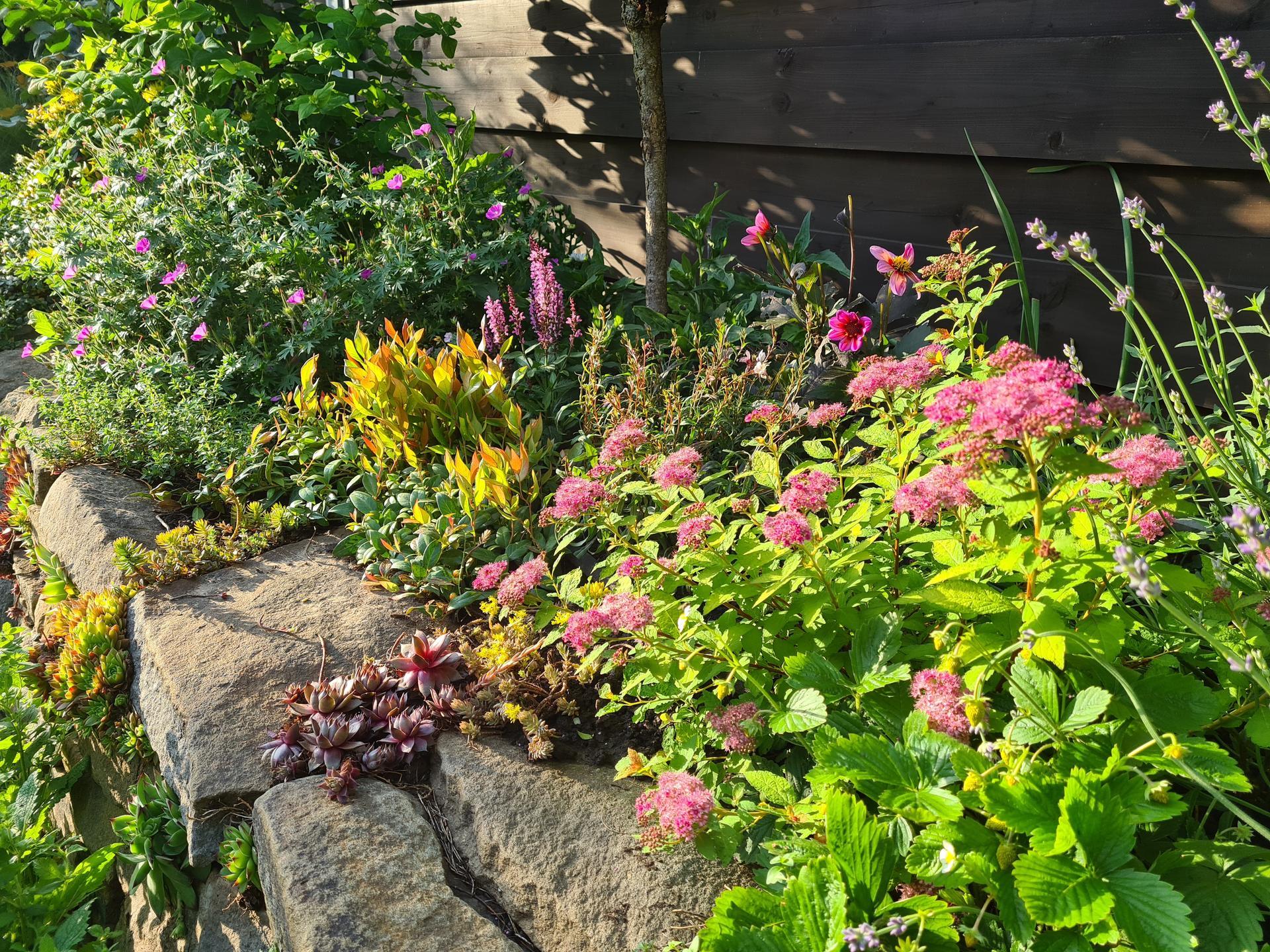 Naša záhradka 2021 - Vykvitol tavolnik a paradu robj aj nova stalezelena rastlinka s cervenymi vrskami...