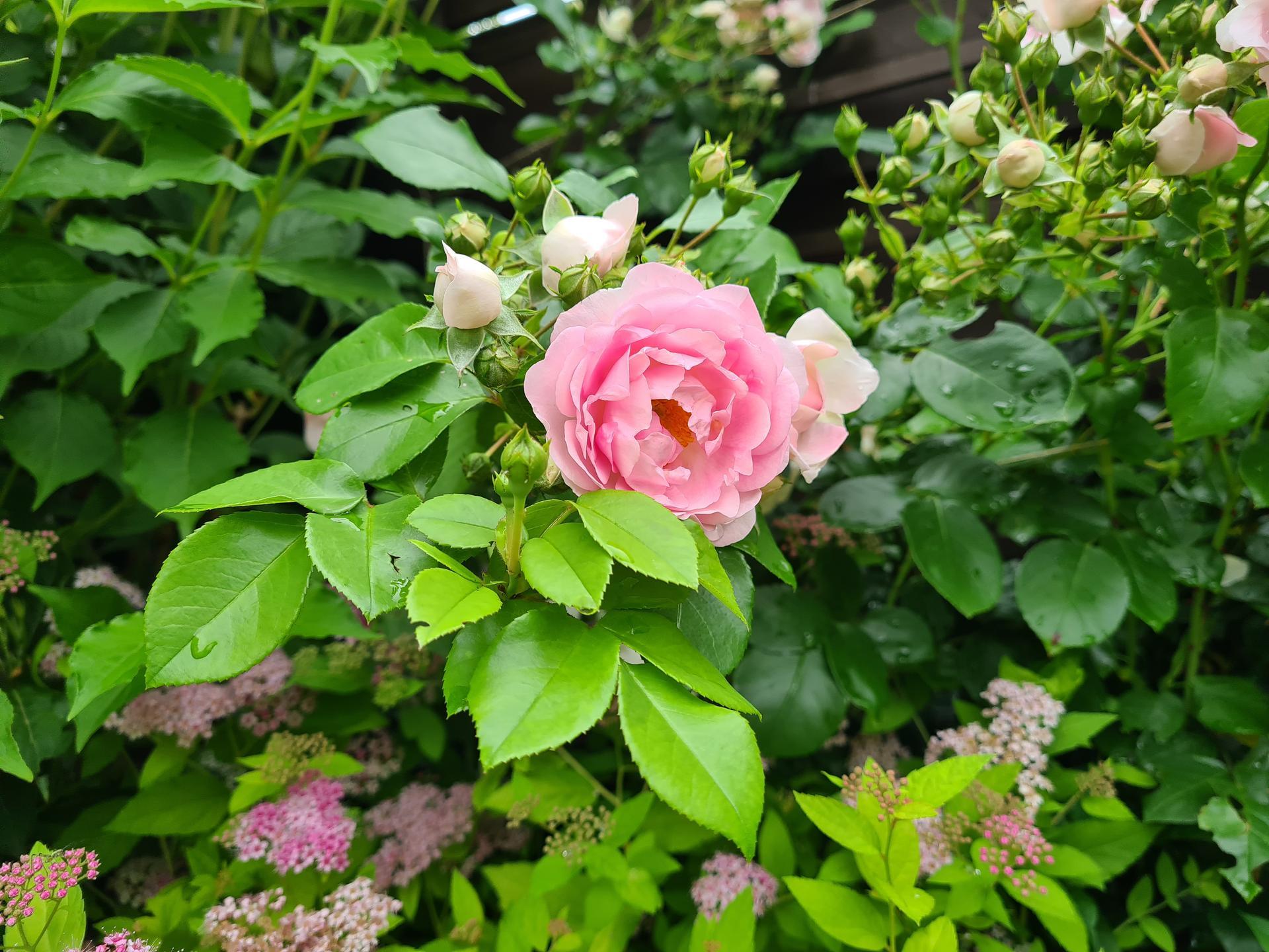 Naša záhradka 2021 - Zacinaju kvitnut ruzicky. Tu Kordes Jasmina.