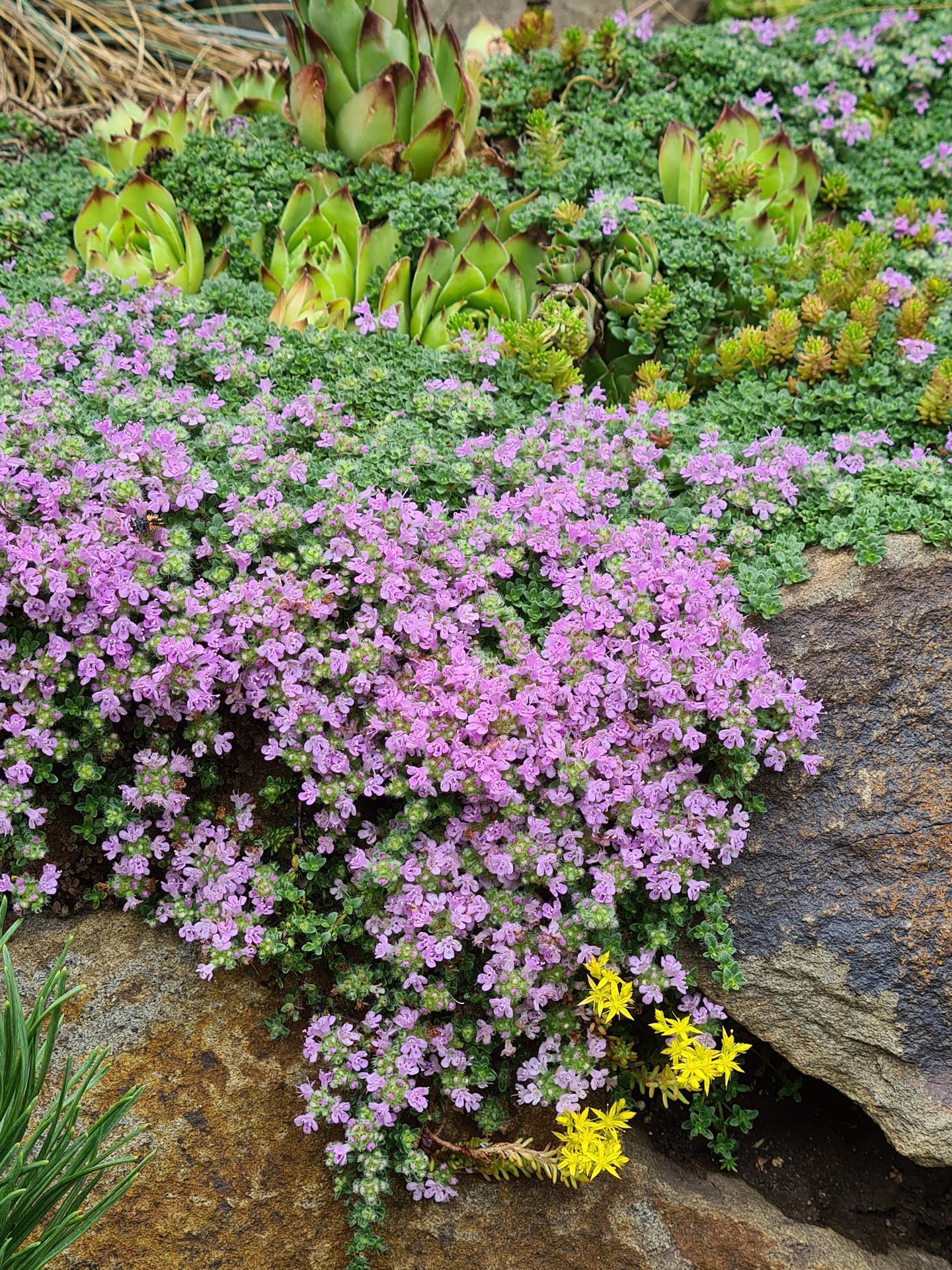 Naša záhradka 2021 - Nizka materina duska, uzasne pokryva kamen