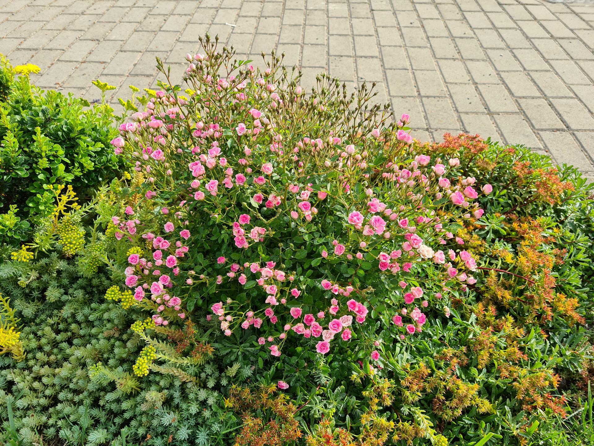 Naša záhradka 2021 - Ruzicka pred domom, sa konecne chytila a takto krasne kvitne. Dokonca uz ani msice na nej nie su.
