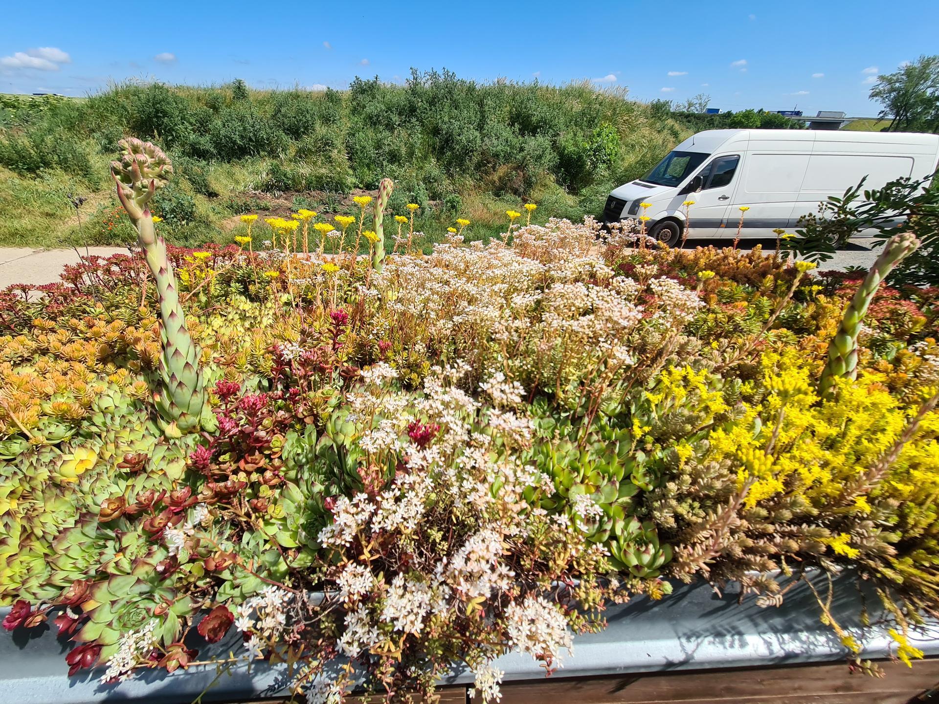 Naša záhradka 2021 - Zelena strecha vykvitla.