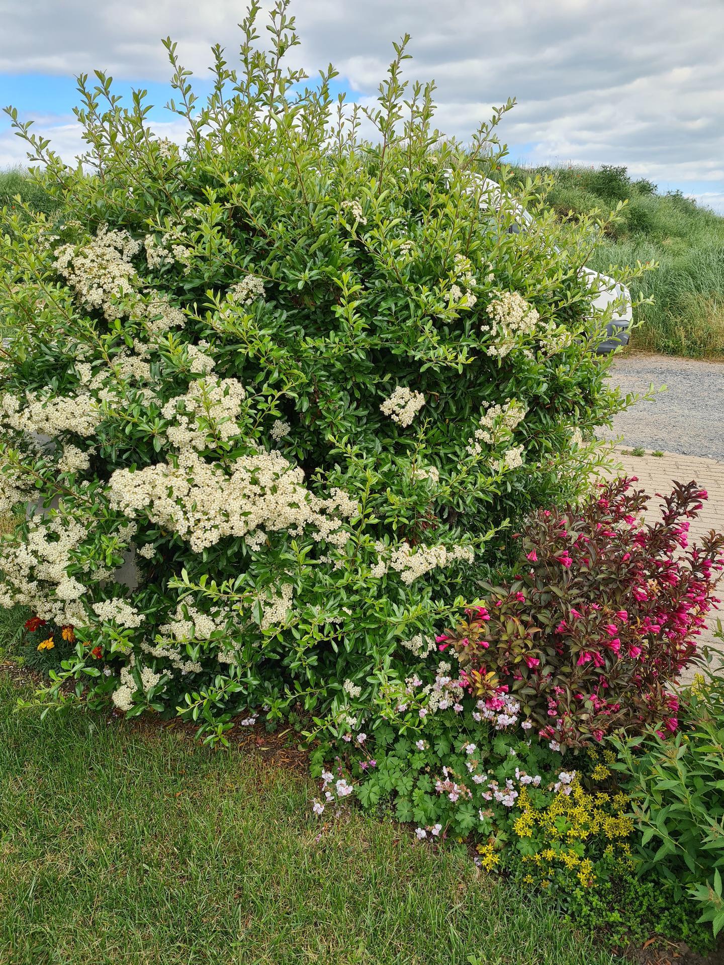 Naša záhradka 2021 - Kvitne hlohyne a vajgelie