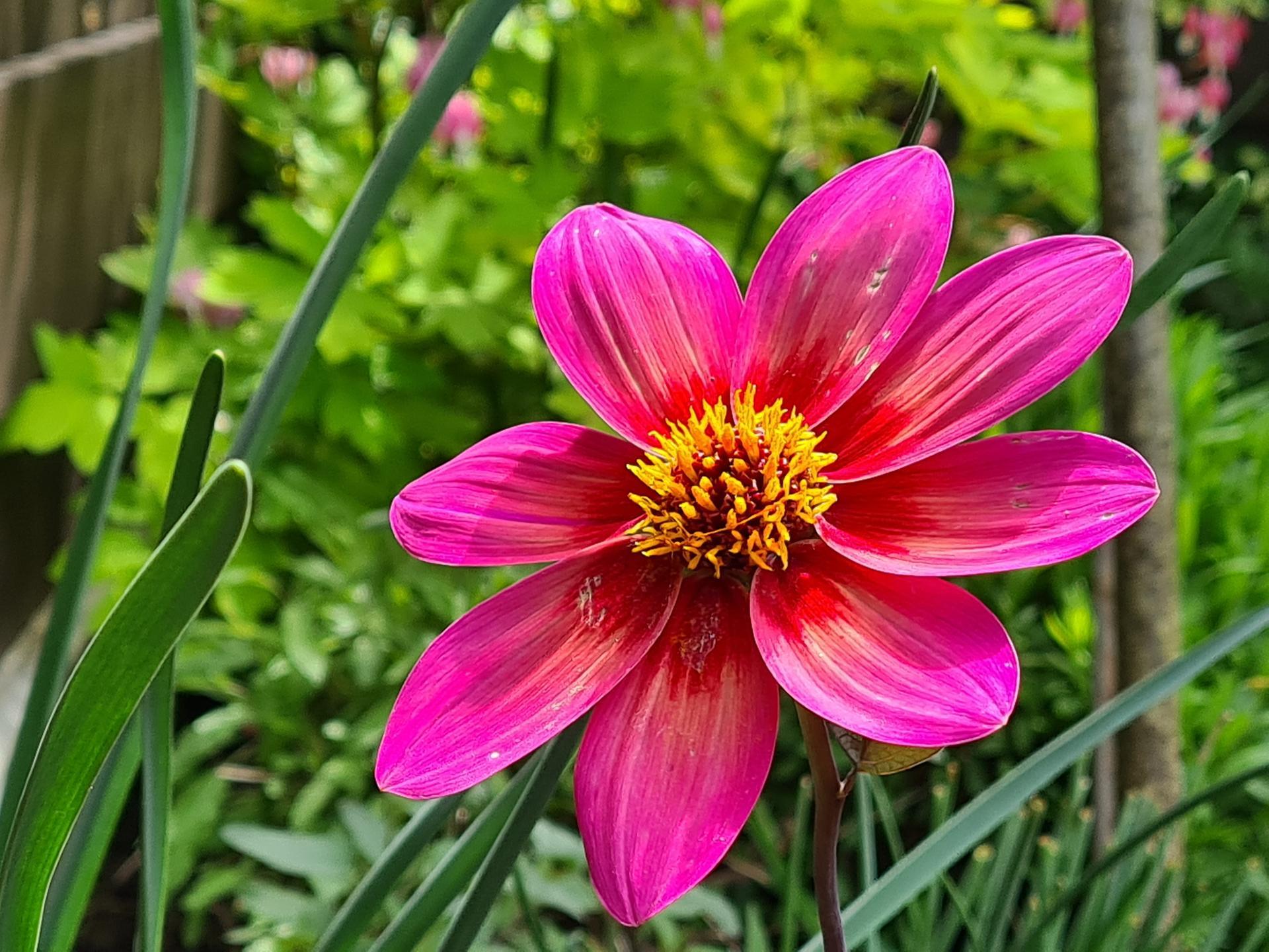 Naša záhradka 2021 - Jirinka sa rozkvitla, snad mi ju nezozeru slimaky...