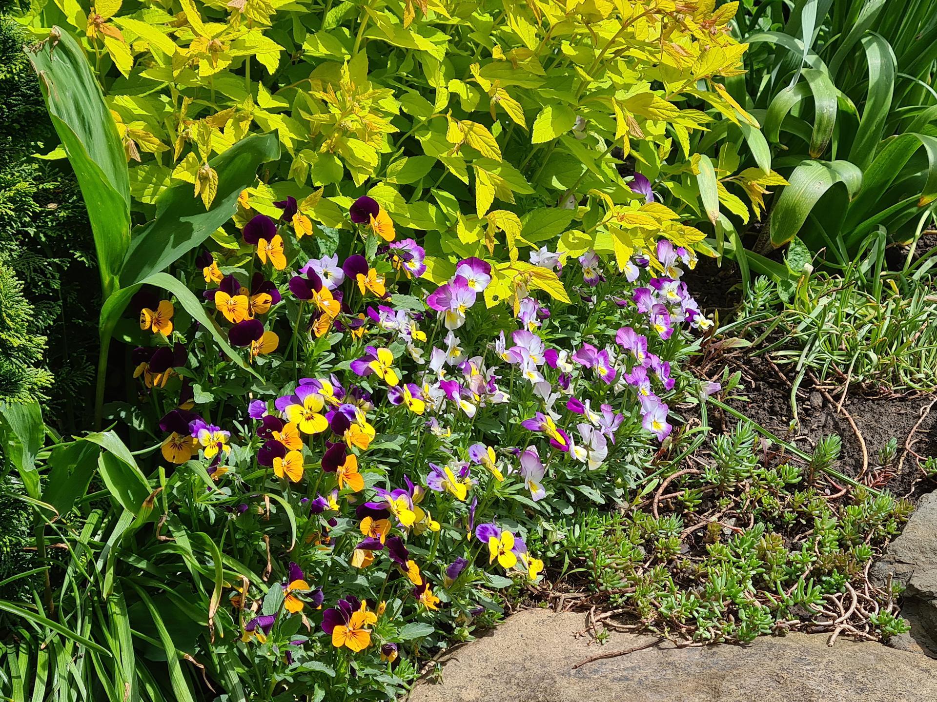 Naša záhradka 2021 - Macesky na jar kupene, stale robia paradu
