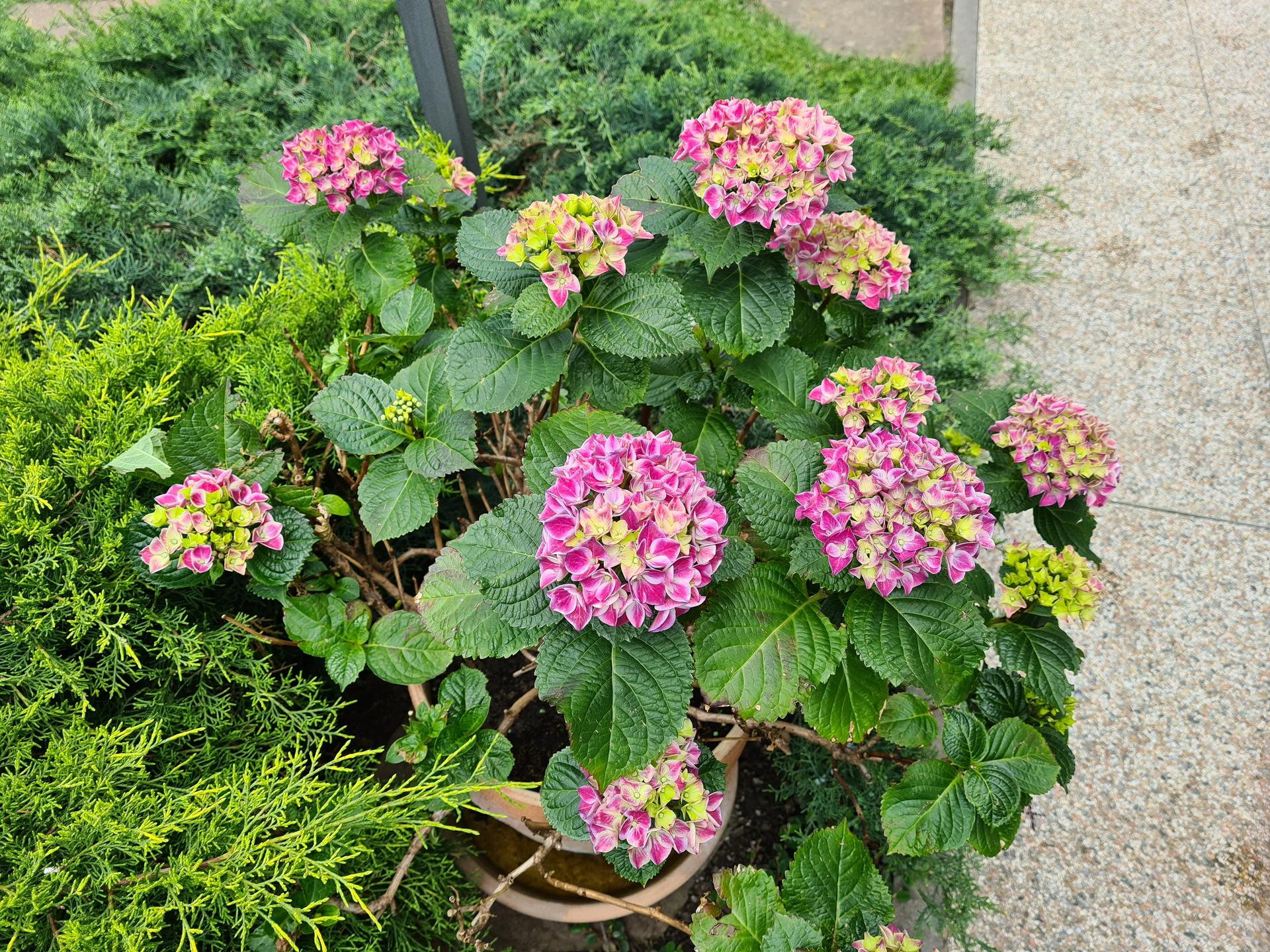 Naša záhradka 2021 - Hortenzia v kvetinaci, zimovana v zimnej zahrade.
